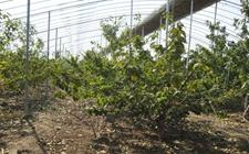 """把乡愁变为致富项目!十堰移民把这种水果在武汉卖出了""""天价"""""""
