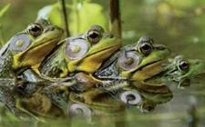 乌拉圭展开灭蛙行动!牛蛙危害东北部阿塞瓜地区农田