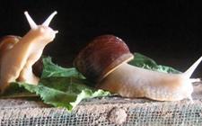 食用蜗牛天敌有哪些?人工养殖蜗牛的主要天敌和防治措施