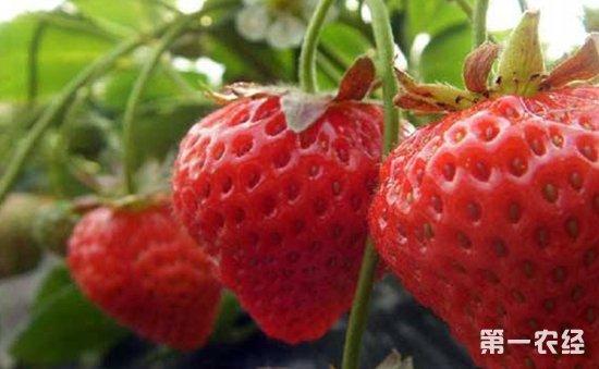 草莓种子怎么种?草莓的播种育苗方法和种植管理要点