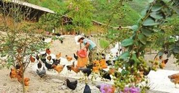 陈小凤:生态养鸡带来的好日子