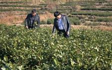 重庆城口县:种茶技术送上门 助农增收致富