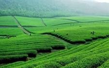 重庆沙坪坝:中梁镇永宁寺村开建茶产业生态园