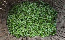 如何选购竹叶青茶?竹叶青茶选购方法介绍