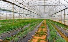 四川泸州玉水村:蔬菜育苗 育出大财富