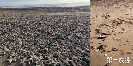"""英国海滩现死海星 数万只海星""""死相""""骇人"""