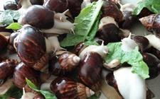 白玉蜗牛染上病虫怎么办?白玉蜗牛常见疾病与虫害的防治方法