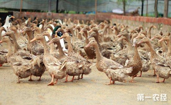 三穗鸭疾病怎么防治?三穗鸭常见疾病的病症与防治