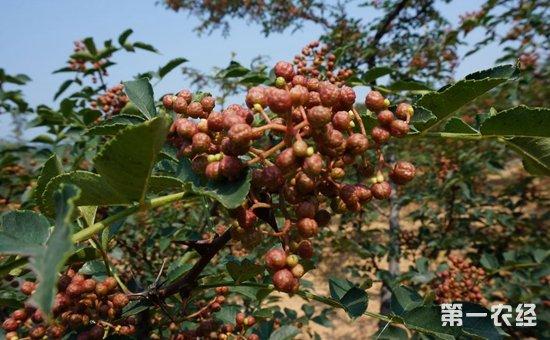 花椒怎么种植才好?花椒的种植与管理技术