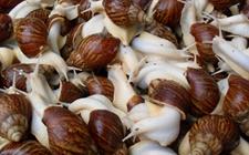 白玉蜗牛养殖怎么控制温度?白玉蜗牛的温度控制技术
