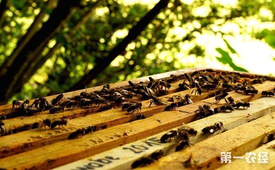 僵尸蜜蜂怎么处理?僵尸蜜蜂的原因和处理方法