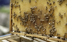蜜蜂养殖怎么管理?蜜蜂养殖的基础管理要点
