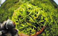 """今年 """"明前茶""""上市时间推迟 质量将好于去年"""