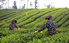 """贵州黎平:春茶""""中茶108""""茶叶品种开采"""
