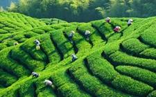 <b>广东省开阳县:多举措推进茶叶基地建设</b>