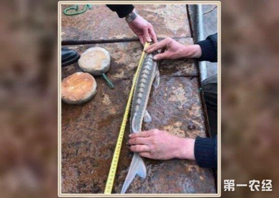 """浙江渔民捕获""""水中大熊猫"""" 渔业部门核实为年幼野生中华鲟"""