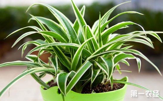 9种适合养在室内的盆栽植物介绍!观赏价值高且净化效果好