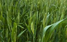甘肃:成功研发纯中药制剂植物源生物农药 助力粮食生产更安全