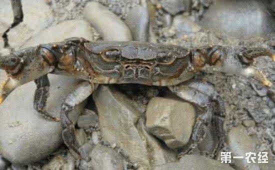 螃蟹疾病该如何防治?螃蟹常见疾病的防治方法