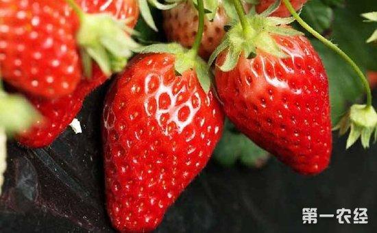 草莓种植应该怎么施肥?草莓种植的施肥方法