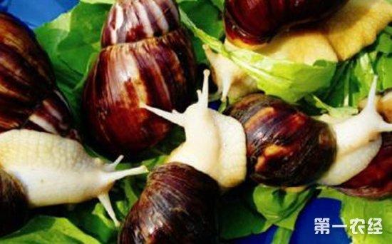 白玉蜗牛怎么养才好?白玉蜗牛的高效养殖澳门皇冠娱乐