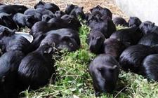 黑豚怎么繁殖?中华黑豚的繁殖要点介绍!
