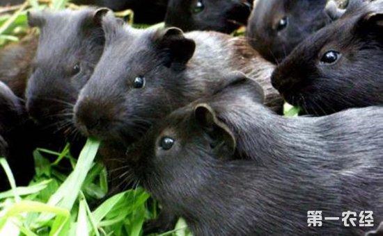 黑豚养殖怎么管理?中华黑豚的饲养管理要点