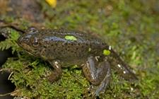 牛蛙幼蛙怎么养?牛蛙幼蛙的养殖技术