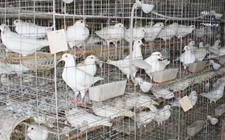 湖北大学生李洋洋:返乡创业养殖肉鸽创业致富