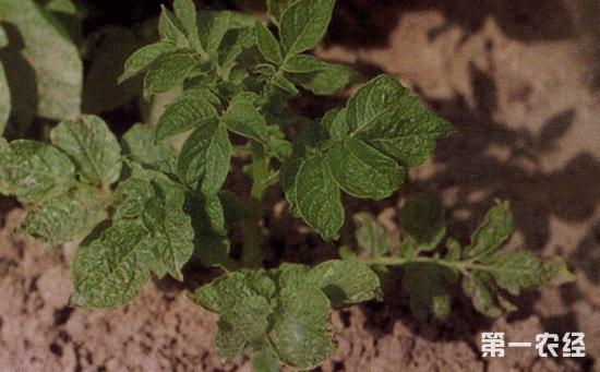 马铃薯病毒病怎么防治?马铃薯病毒病的综合防治方法