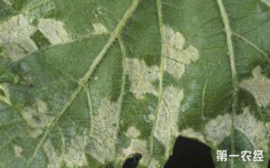 葡萄虫害有哪些?葡萄常见虫害的防治方法