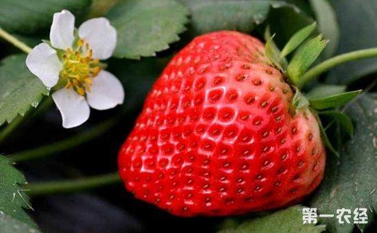 四季草莓种植该如何管理?四季草莓的种植管理要点