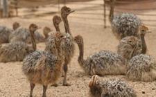 鸵鸟育雏期养殖怎么管理?鸵鸟育雏期的养殖管理要点