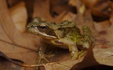 林蛙疫病怎么防治?林蛙疫病的防控八要素