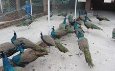 孔雀染上球虫病怎么办?孔雀球虫病的预防与治疗