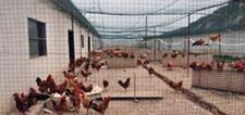 贵州纳雍养鸡人才做架 架起整个养鸡产业链