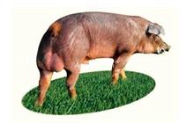 生猪什么品种最好?养猪选什么品种猪好