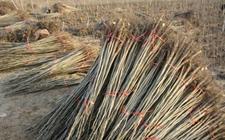 忧心忡忡!陕西扶风20户农户300多亩树苗遇滞销无人问津