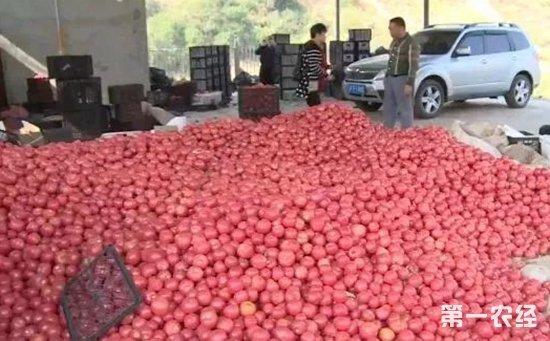 急坏农户急需售出!云南元江丰产两千多吨番茄却遇滞销