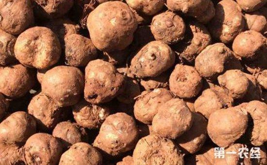 魔芋种子多少钱一斤?