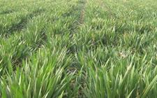 山东小麦一类苗面积减少二三类苗面积增加