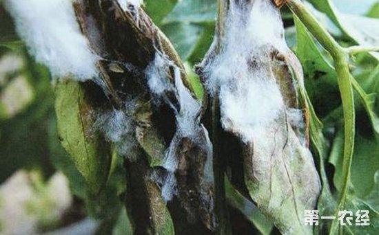 辣椒菌核病怎么防治?辣椒菌核病的病症和综合防治
