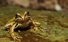 林蛙染上疾病怎么办?林蛙常见疾病的防治方法
