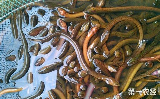 黄鳝养殖该如何提高产量?提高黄鳝养殖产量的方法