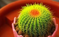 仙人球怎么养才好?仙人球的繁殖要点和养殖方法