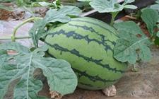 无籽西瓜种植怎么管理?无籽西瓜种植的田间管理要点