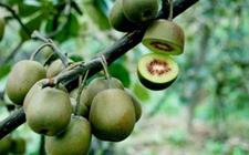猕猴桃种植需要什么条件?猕猴桃的种植条件和技术