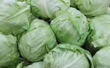 卷心菜怎么做种植?卷心菜种植技术