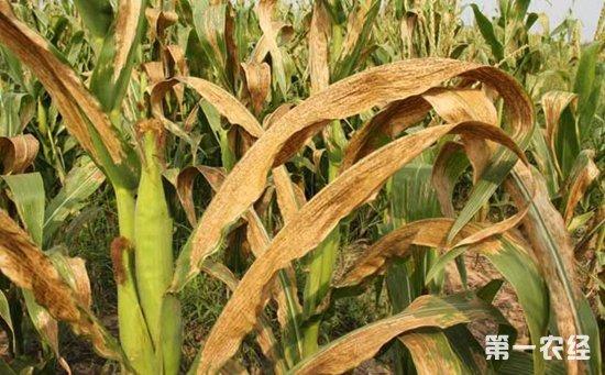玉米青枯病怎么治?玉米青枯病的发病条件和防治措施