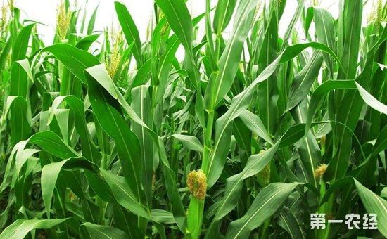 研究人员发现玉米籽粒发育新机制  对于玉米产量有着重要影响